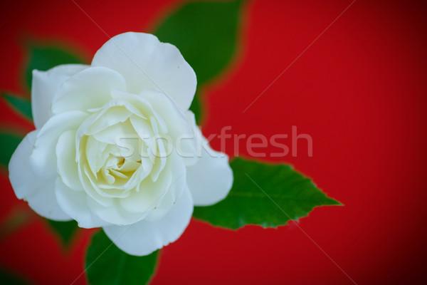 Fehér gyönyörű rózsa piros esküvő háttér Stock fotó © Peredniankina