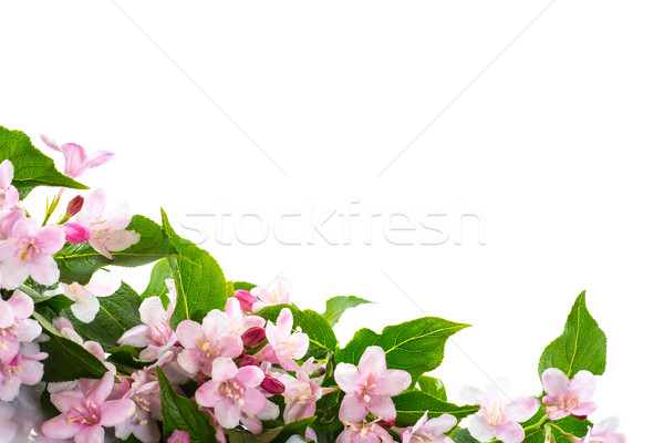 Weigel beautiful blooming flowers Stock photo © Peredniankina