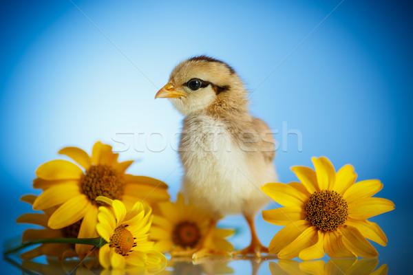 Stok fotoğraf: Küçük · civciv · papatyalar · mavi · Paskalya · bahar