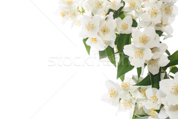 jasmine white flower Stock photo © Peredniankina