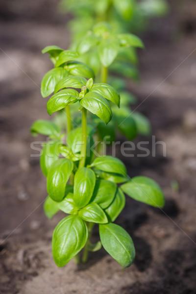 Bush croissant basilic floue feuille cuisine Photo stock © Peredniankina