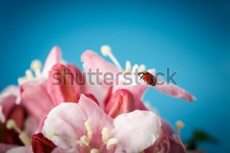 Katicabogár rózsaszín gyönyörű virágok kék levél Stock fotó © Peredniankina