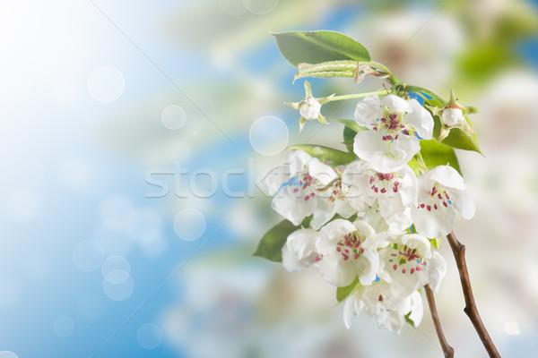 çiçekli armut çiçekler mavi çiçek ağaç Stok fotoğraf © Peredniankina