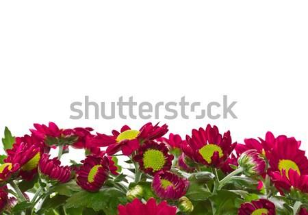 Stock photo: Chrysanthemums