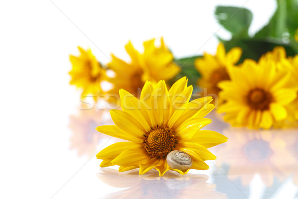 букет желтый Ромашки улитки белый цветок Сток-фото © Peredniankina