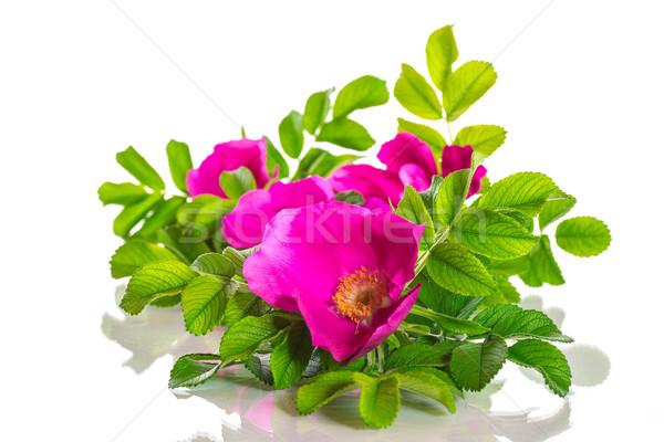 Wild Rose blooming Stock photo © Peredniankina
