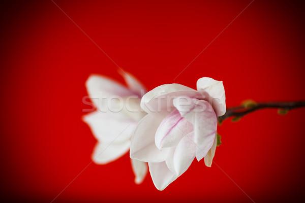 Gyönyörű rózsaszín magnolia virág piros tavasz Stock fotó © Peredniankina