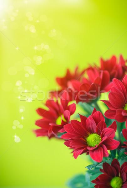 beautiful red flowers of chrysanthemum  Stock photo © Peredniankina