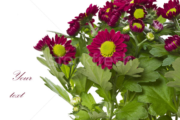 Foto stock: Hermosa · púrpura · crisantemo · blanco · boda