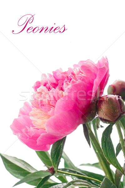 peonies Stock photo © Peredniankina