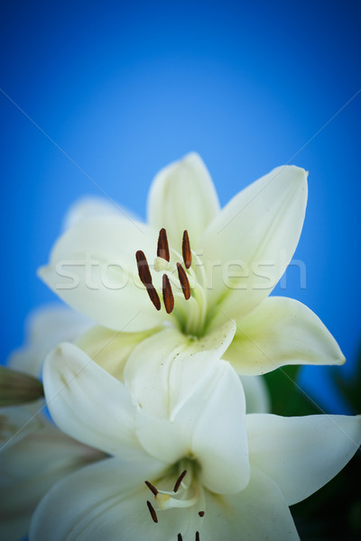 Witte lelie mooie Blauw bloem Stockfoto © Peredniankina