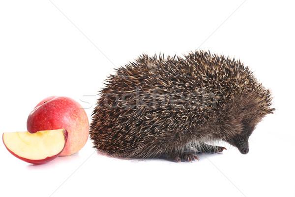 hedgehog Stock photo © Peredniankina