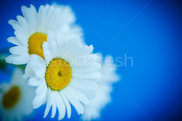 Camomila belo branco margarida azul flor Foto stock © Peredniankina