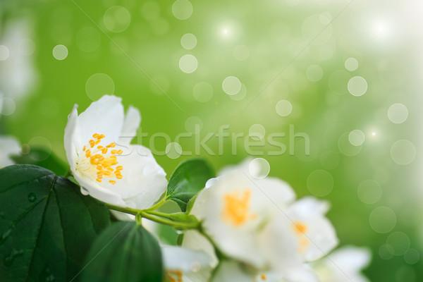 branch blooming jasmine Stock photo © Peredniankina