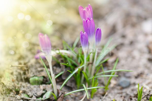 Voorjaar krokus zon buitenshuis Pasen Stockfoto © Peredniankina