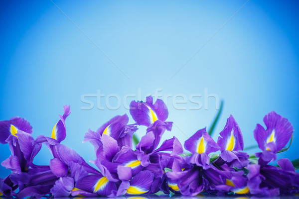 beautiful bouquet of flowers irises Stock photo © Peredniankina