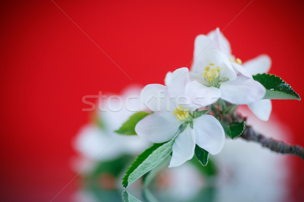 Elma çiçek bahar çiçekleri kırmızı ağaç doğa Stok fotoğraf © Peredniankina