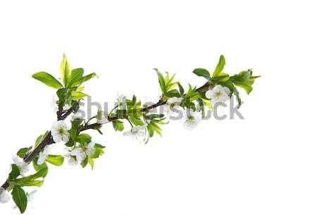 spring flowers of fruit trees Stock photo © Peredniankina