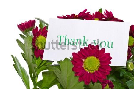 Piękna fioletowy chryzantema wdzięczność biały miłości Zdjęcia stock © Peredniankina