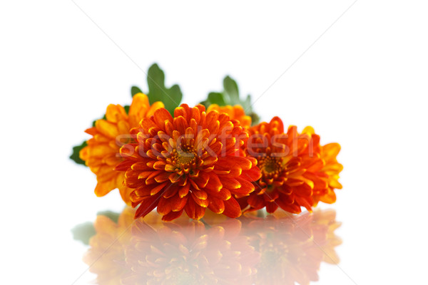 Oranje chrysant geïsoleerd witte bloem tuin Stockfoto © Peredniankina