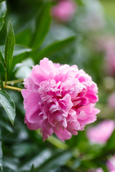 peony outdoors Stock photo © Peredniankina