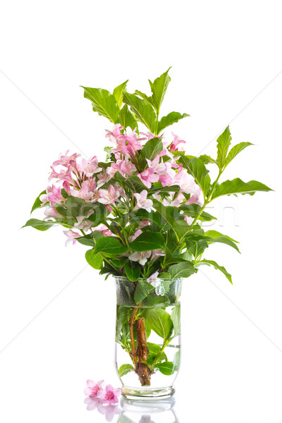 Stock photo: Weigel beautiful blooming flowers