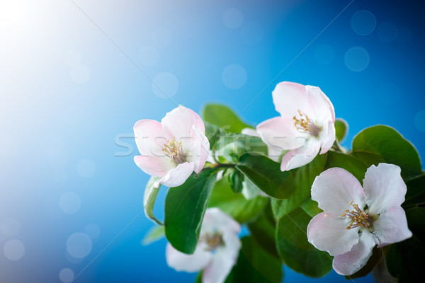 Voorjaar bloei kweepeer boom Blauw bloem Stockfoto © Peredniankina