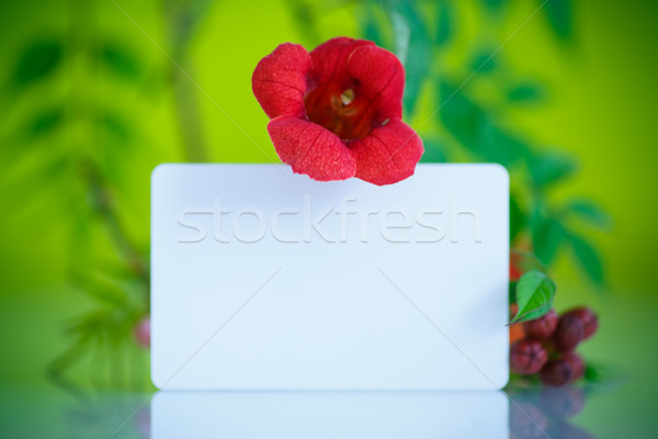 blooming red flower Campsis  Stock photo © Peredniankina