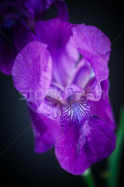 アイリス 美しい 花 黒 葉 背景 ストックフォト © Peredniankina