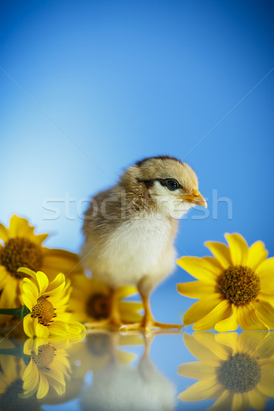 cute little chicken Stock photo © Peredniankina
