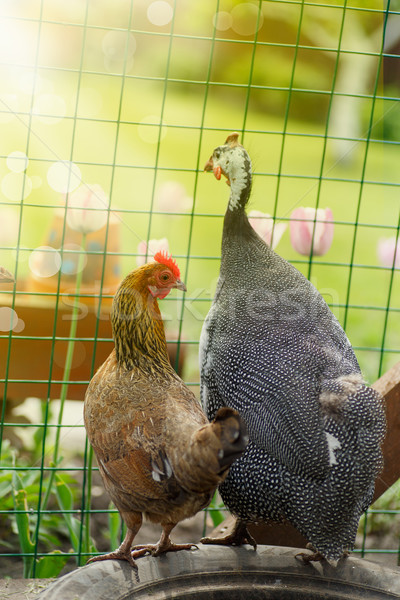 chicken and guinea fowl on a sunny day  Stock photo © Peredniankina