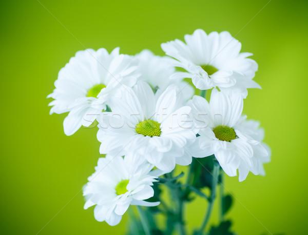 Gyönyörű fehér virágok krizantém zöld háttér szín Stock fotó © Peredniankina