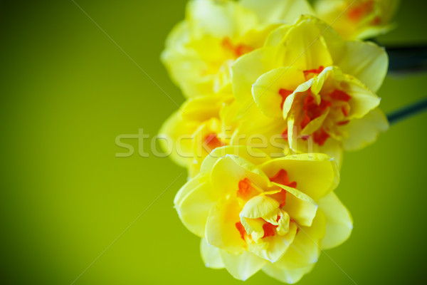 Virágcsokor citromsárga nárciszok zöld természet háttér Stock fotó © Peredniankina