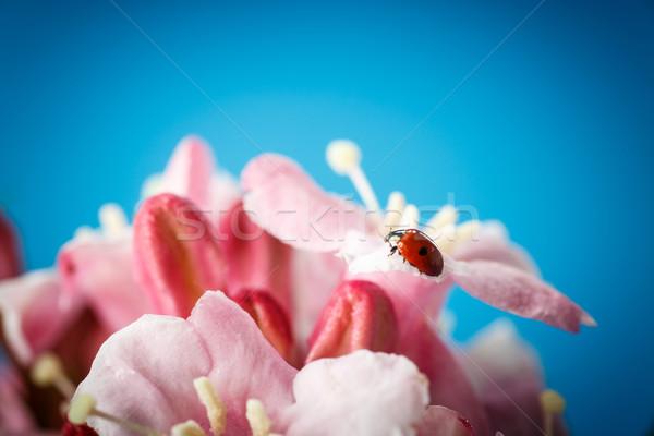 ladybug on pink beautiful flowers Stock photo © Peredniankina
