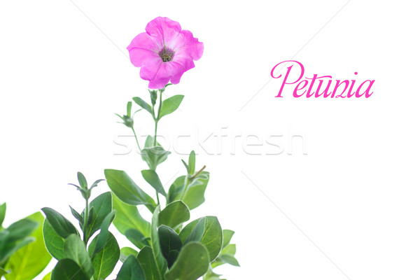 petunia Stock photo © Peredniankina