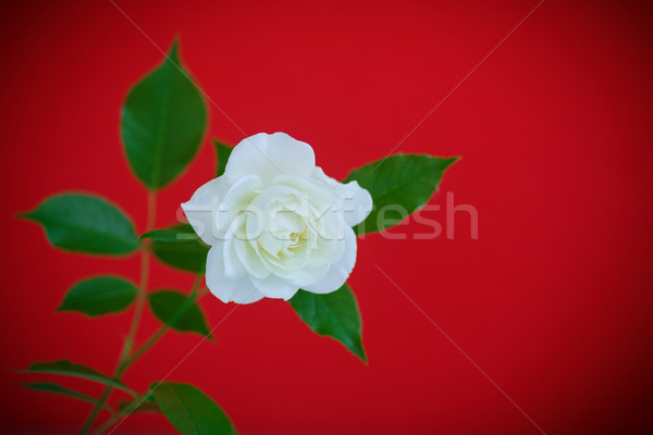 Witte mooie steeg Rood bloem verjaardag Stockfoto © Peredniankina