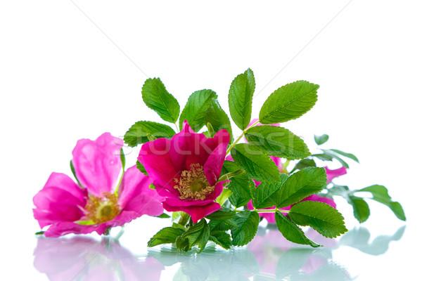 花 バラ 白 自然 ストックフォト © Peredniankina