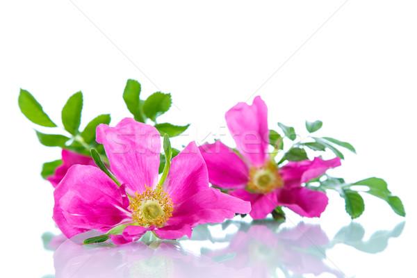 flower blooming wild rose  Stock photo © Peredniankina