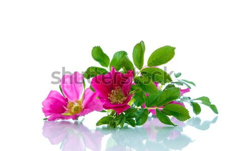 Stock photo: flower blooming wild rose