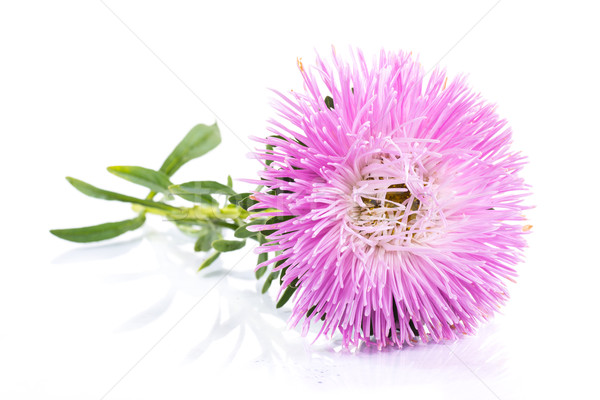 aster Stock photo © Peredniankina