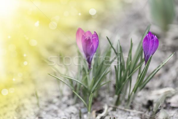 Primavera açafrão sol ao ar livre páscoa Foto stock © Peredniankina