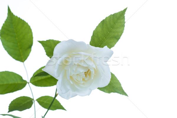 Witte mooie steeg bloem verjaardag tuin Stockfoto © Peredniankina