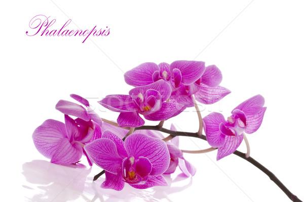 Flores belo roxo branco primavera fundo Foto stock © Peredniankina