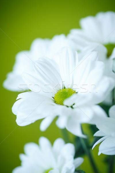 Biały chryzantema piękna białe kwiaty zielone kwiaty Zdjęcia stock © Peredniankina