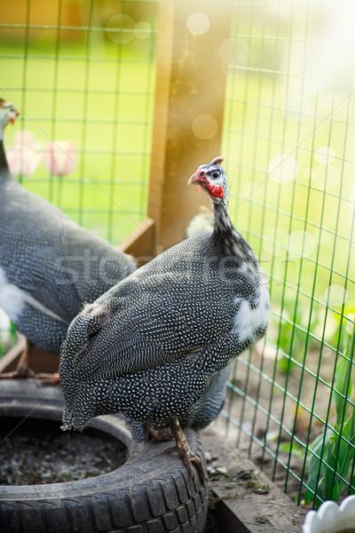 美しい ギニア 家禽 晴れた 夏 日 ストックフォト © Peredniankina