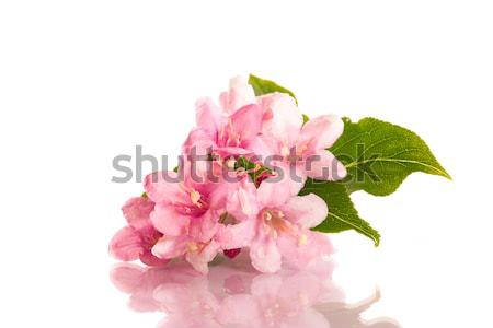 Stock photo: Weigel beautiful flowers