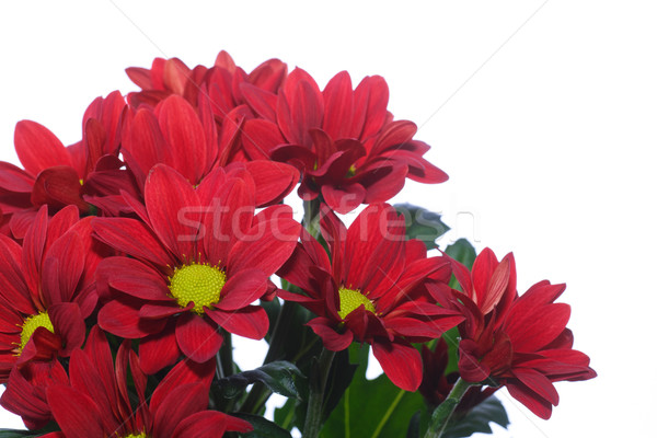 Mooie Rood chrysant witte bloem Stockfoto © Peredniankina