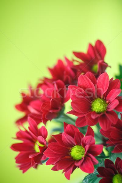 Piros krizantém gyönyörű virágzó zöld virág Stock fotó © Peredniankina