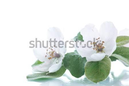 Primavera floración membrillo árbol blanco naturaleza Foto stock © Peredniankina