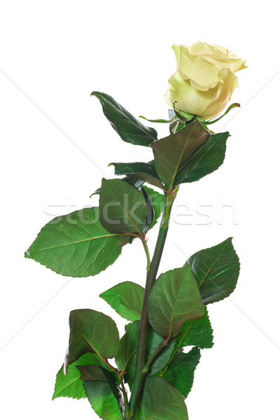 Rose Stock photo © Peredniankina